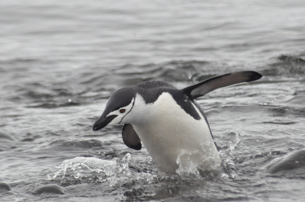 Chinstrap penguin in the Aitchos Islands, Antarctica